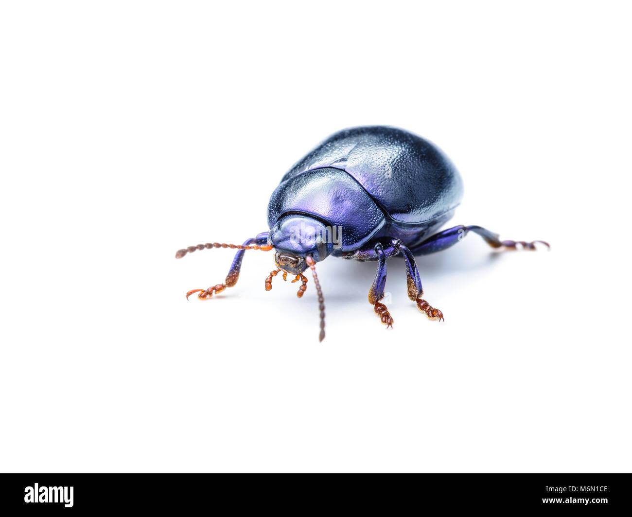 Chrysolina Coerulans Blue Mint Leaf Beetle Insect Macro Isolated on White - Stock Image