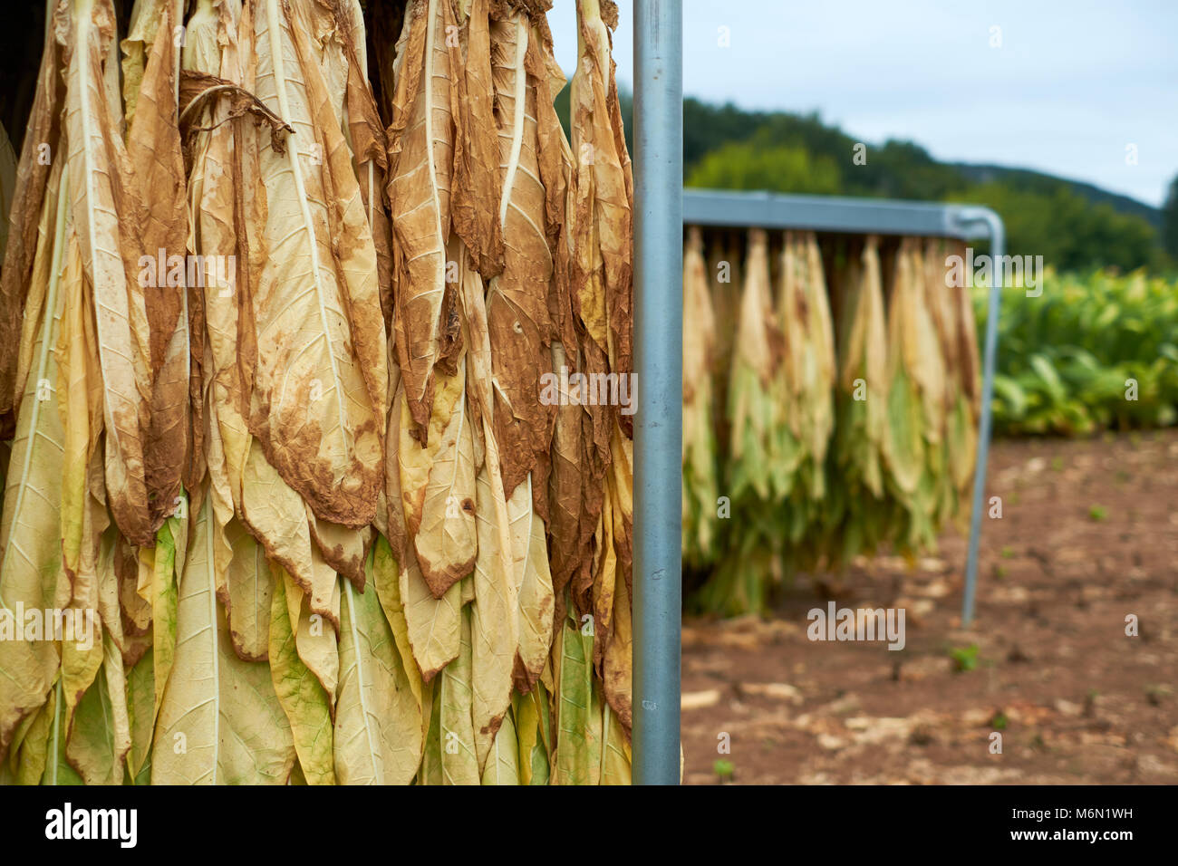 Tobacco leaves hanging out to dry - Stock Image