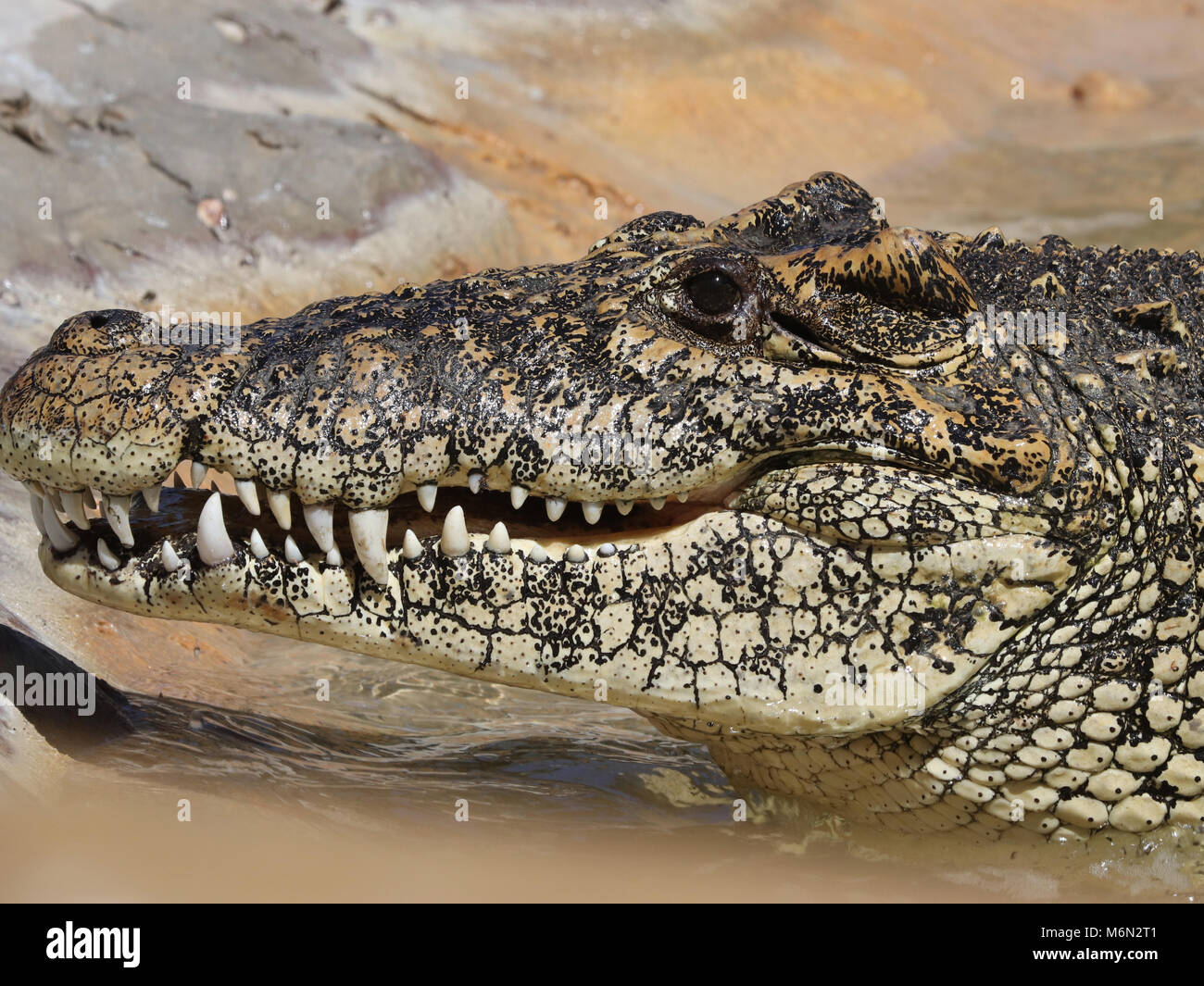 Multi colored Alligator showing lots of teeth closeup - Stock Image