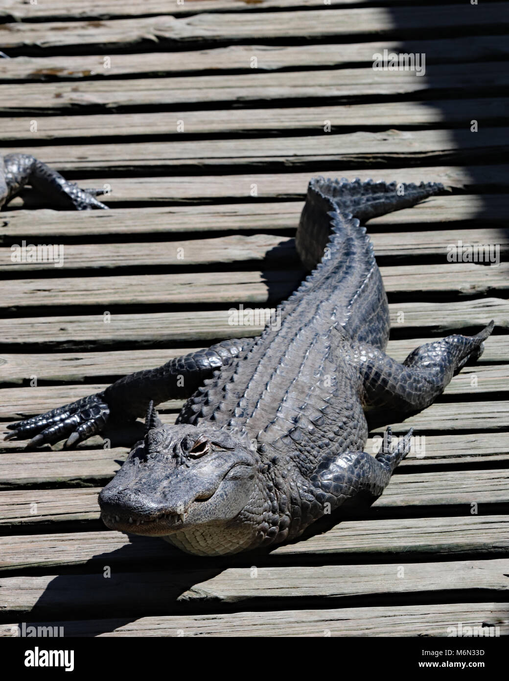 Alligator crawling along wood docks at Gatorland, Orlando where you can feed them if you like or just watch them - Stock Image