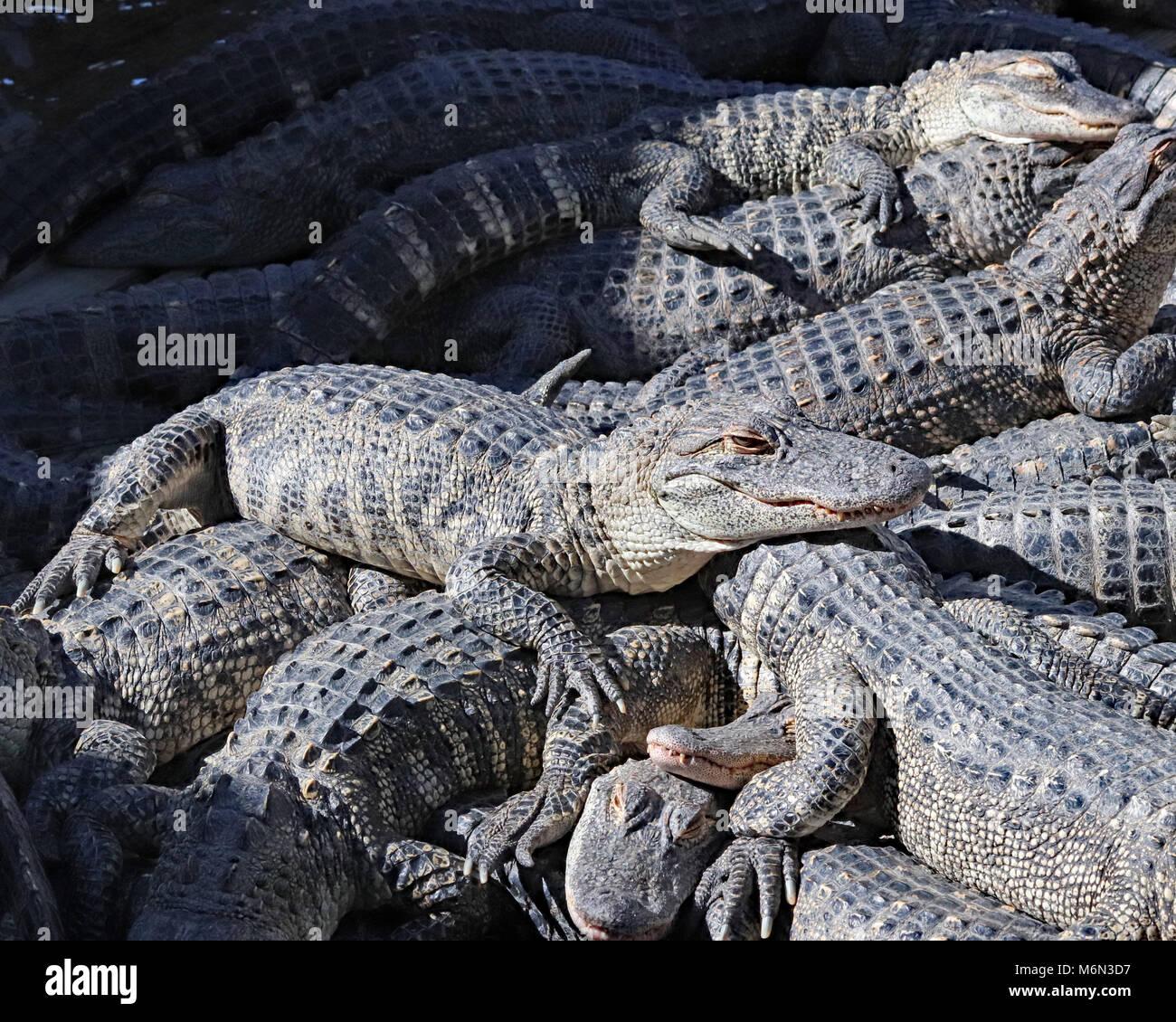 Pile of Alligators sunbathing at Gatorland in Florida - Stock Image