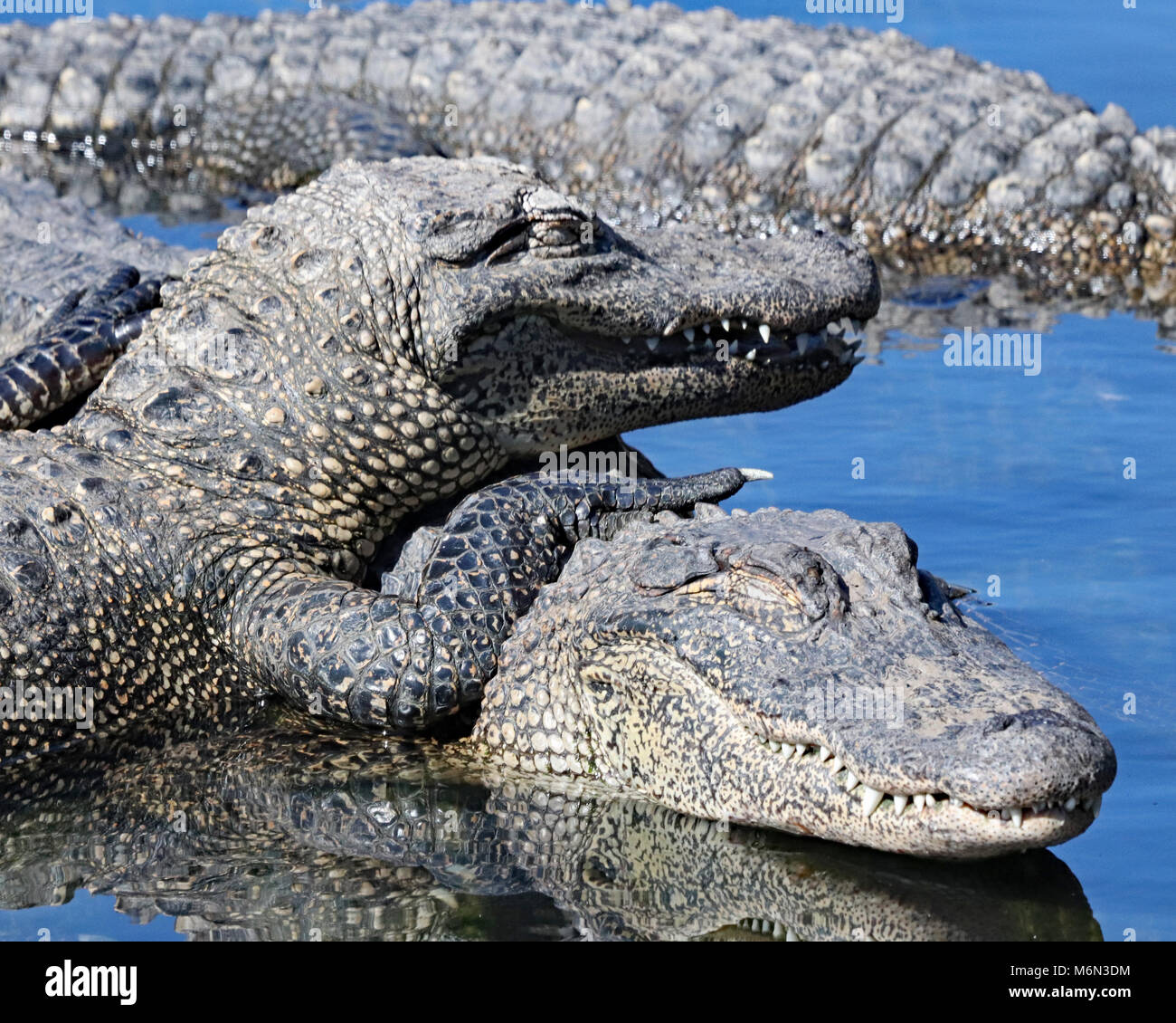 Alligators almost appear to smile as they pile on top of each other at Gatorland, Orlando - Stock Image