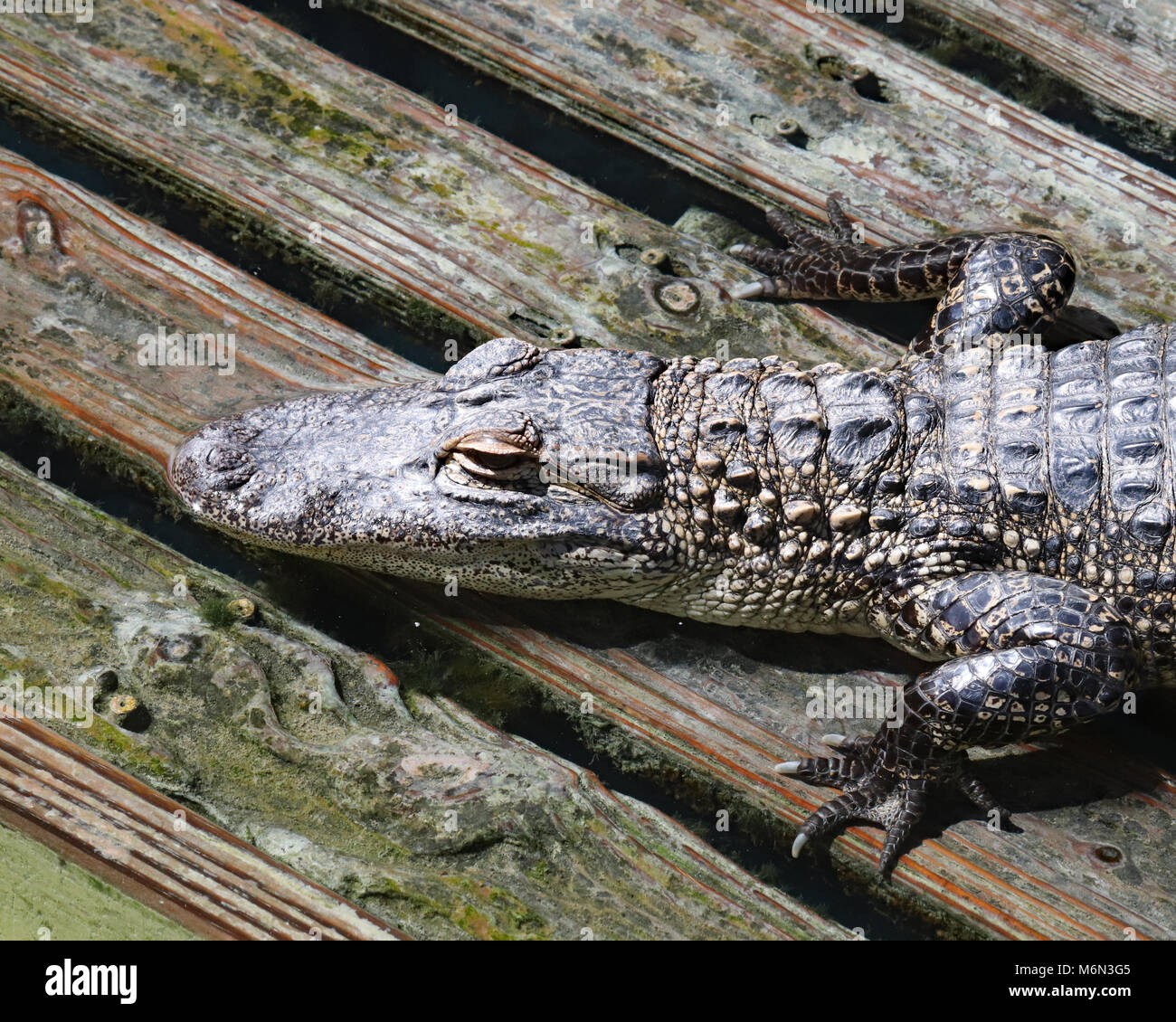 Alligator resting on wooden deck at Gatorland in Orlando, Florida - Stock Image