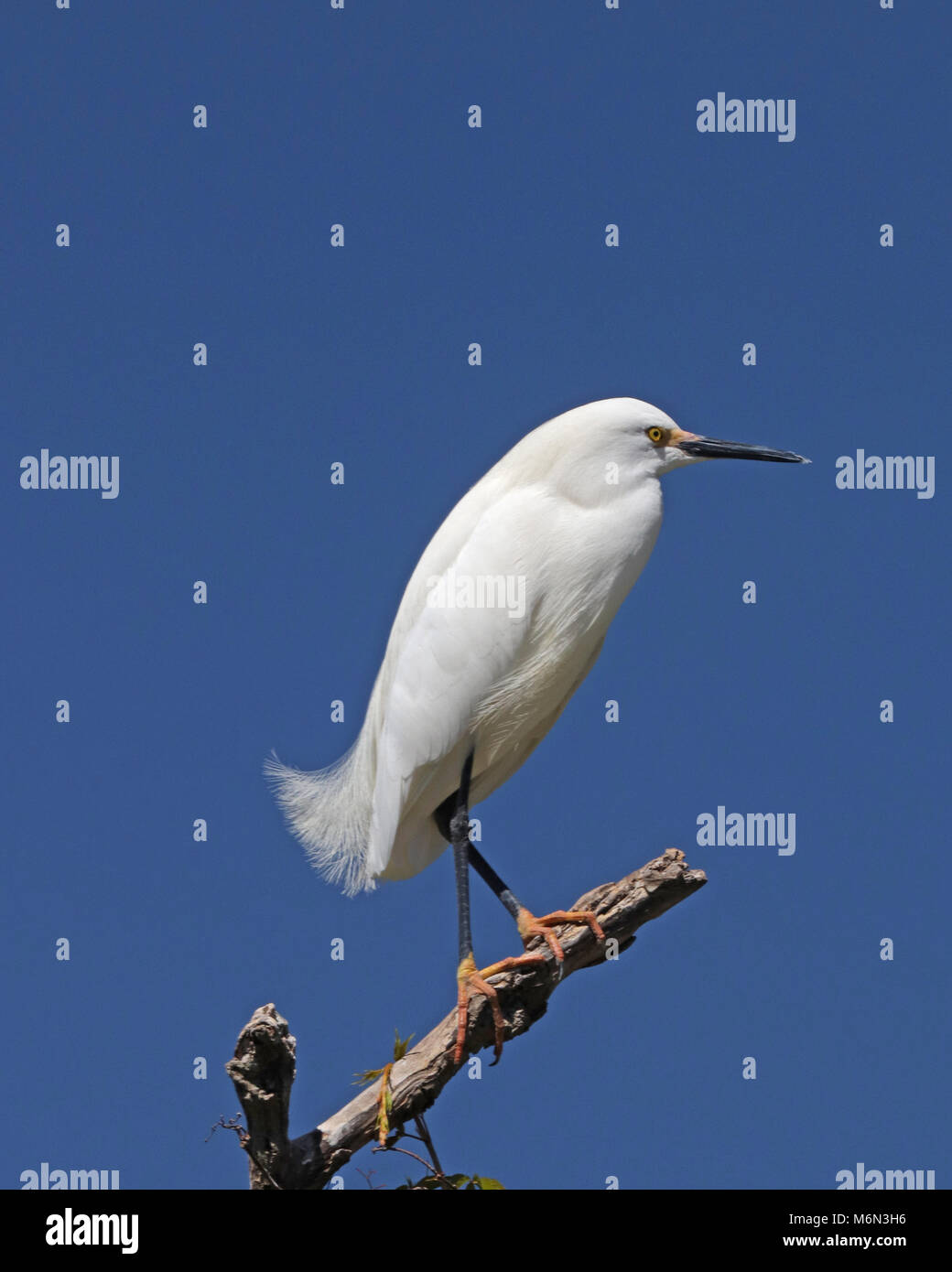 The beautiful Snowy Egret used to be hunted so it's plumes could be used for women's hats - Stock Image