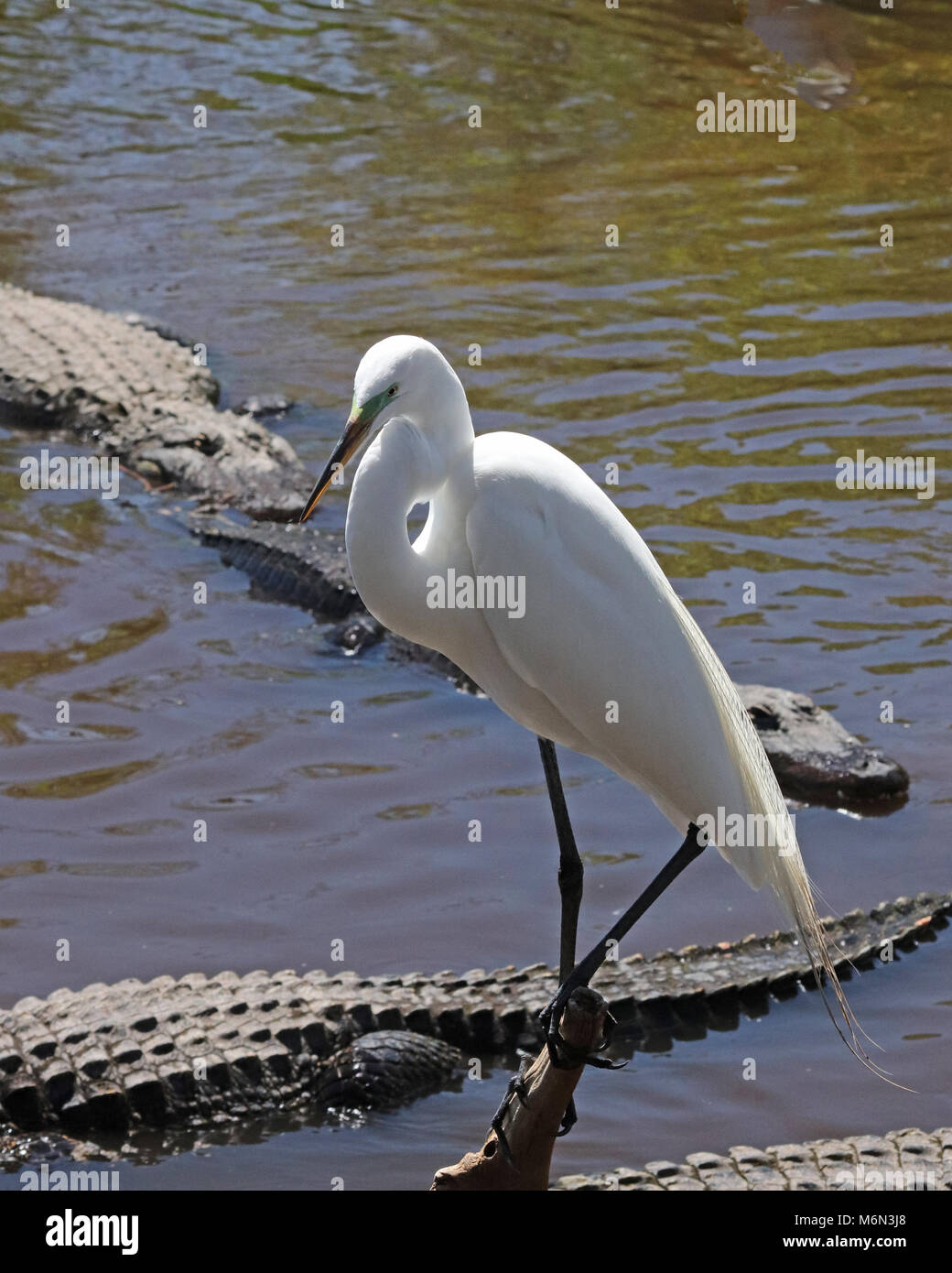Great White Egret on small perch surrounded by Alligators - Stock Image