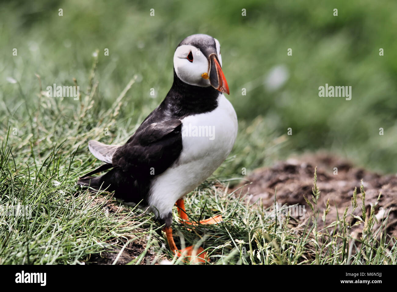 An Atlantic Puffin on the Farne Islands - Stock Image