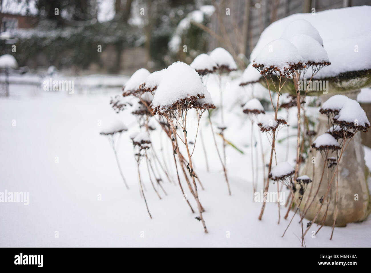 Dried Plant Covered in Snow - Stock Image