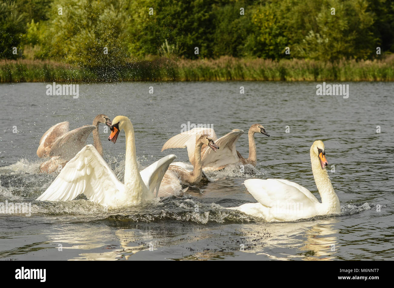 A family of swans flapping their wings on a local lake - Stock Image
