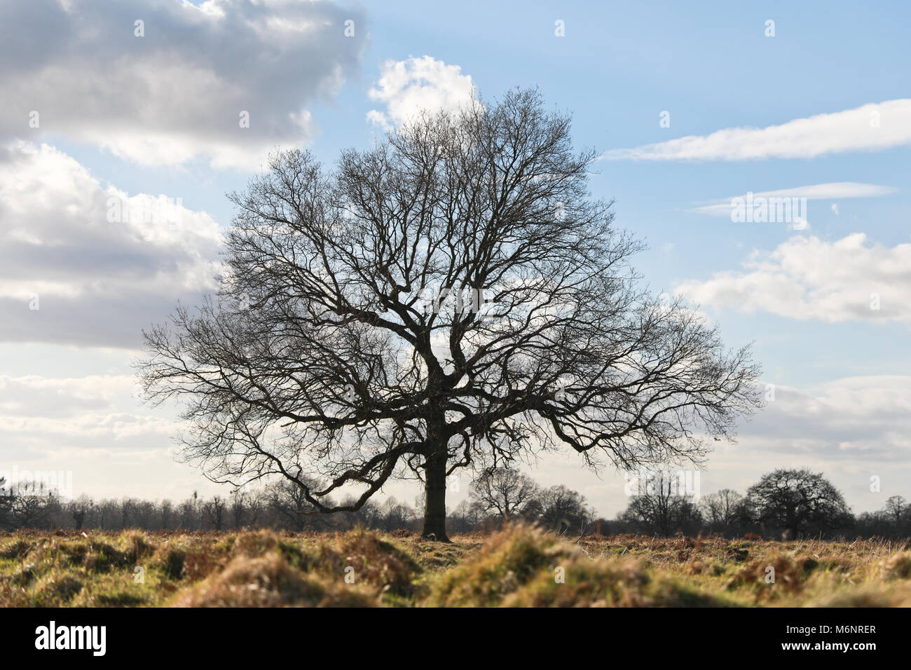 Solo, mighty tree in the middle of the field, above all others. - Stock Image