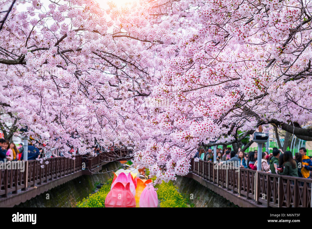 Cherry Blossom In Spring Jinhae Gunhangje Festival Is The Largest Stock Photo Alamy,Small Square Kitchen Design Layout Pictures