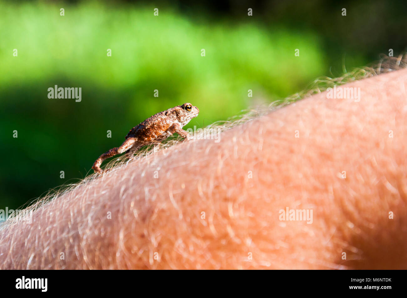 Small amphibian Common toad climbing up on hairy skin of man's arm - Stock Image