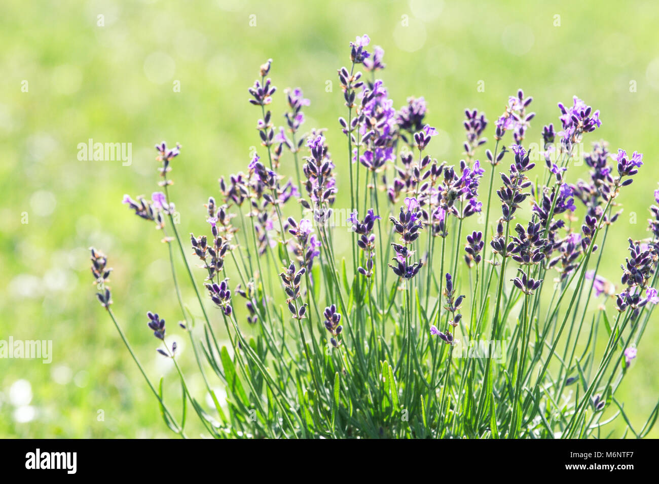 Lavender blooming on the field Stock Photo
