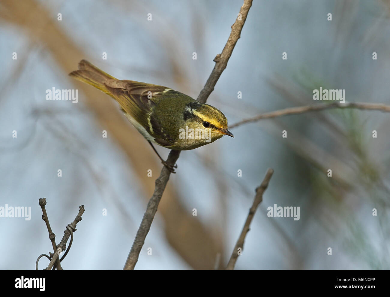 Pallas's Warbler (Phylloscopus proregulus) adult perched on twig  Hebei, China       May Stock Photo
