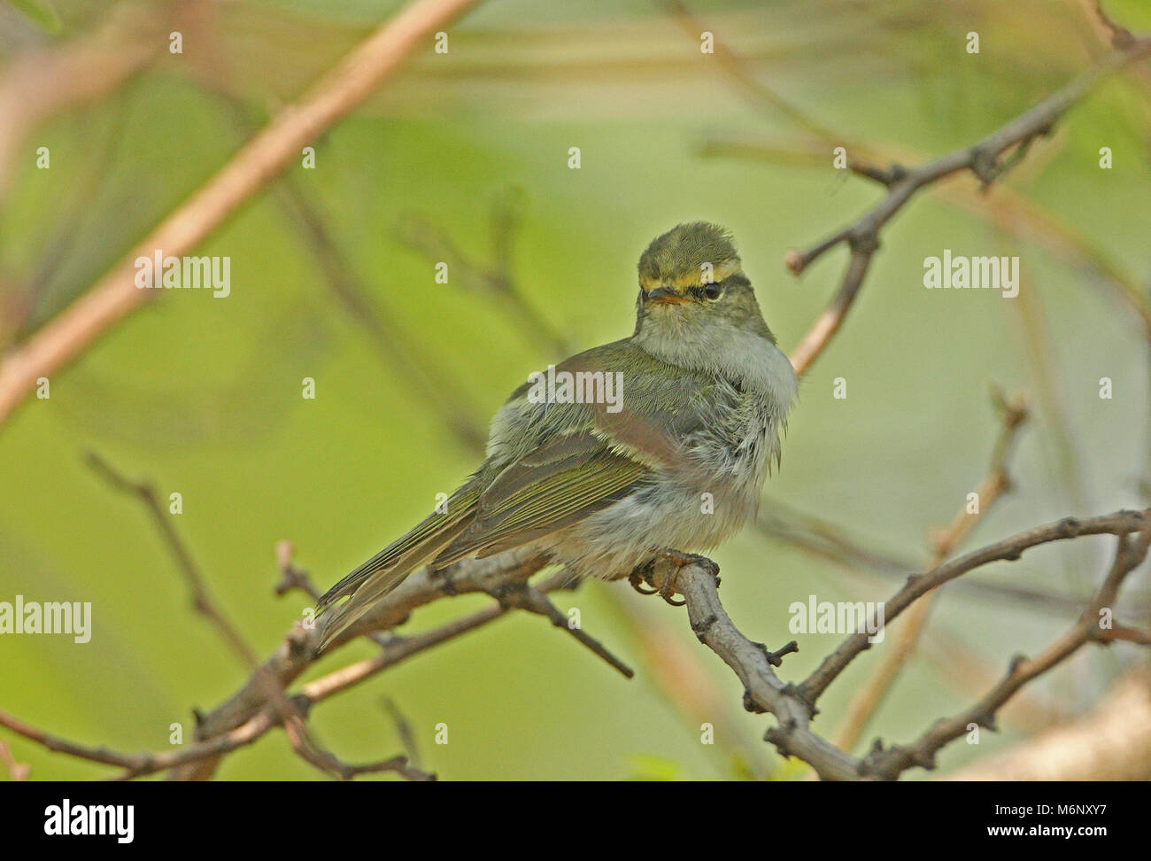 Pallas's Warbler (Phylloscopus proregulus) adult perched inside bush preening  Hebei, China       May Stock Photo