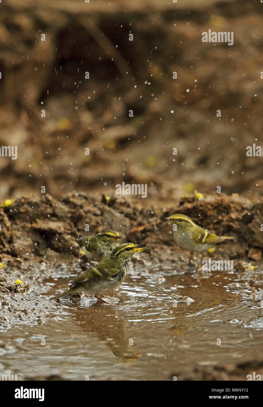 Pallas's Warbler (Phylloscopus proregulus) three adults bathing  Beidaihe, Hebei, China       May Stock Photo