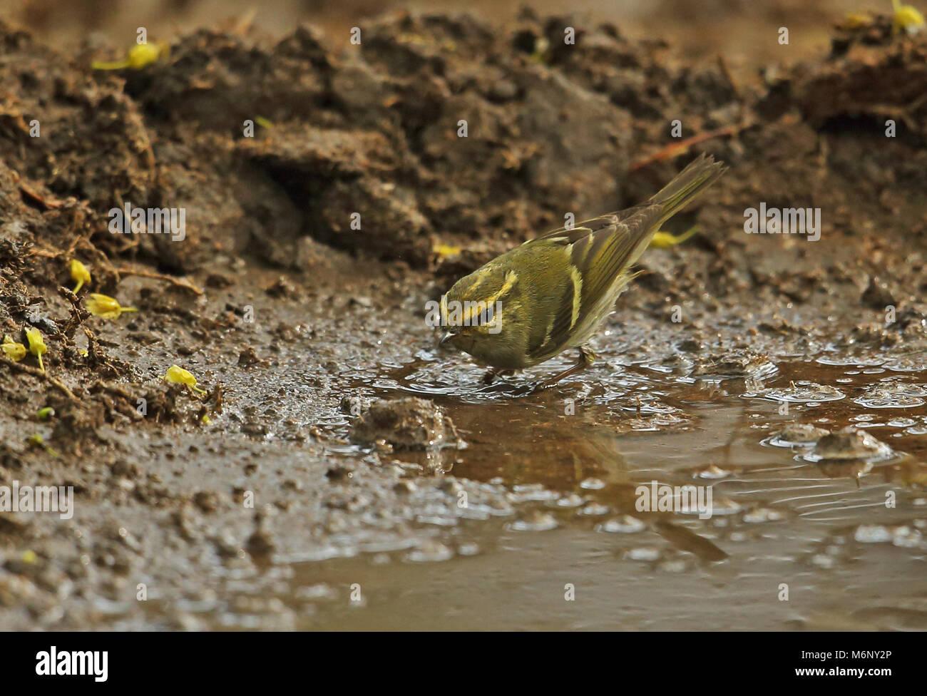 Pallas's Warbler (Phylloscopus proregulus) adult bathing  Beidaihe, Hebei, China       May Stock Photo