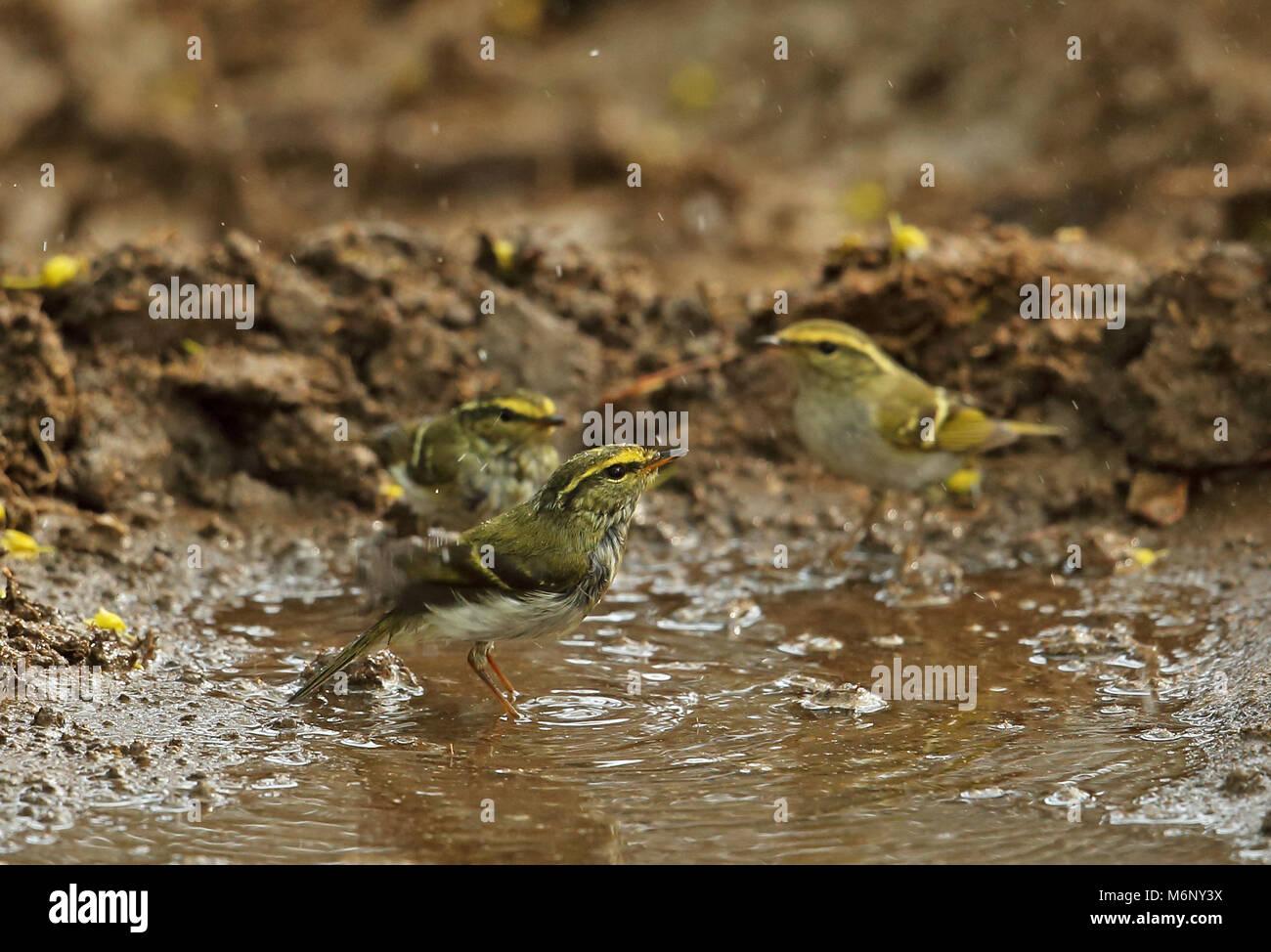 Pallas's Warbler (Phylloscopus proregulus) three adults bathing  Beidaihe, Hebei, China       May Stock Photo