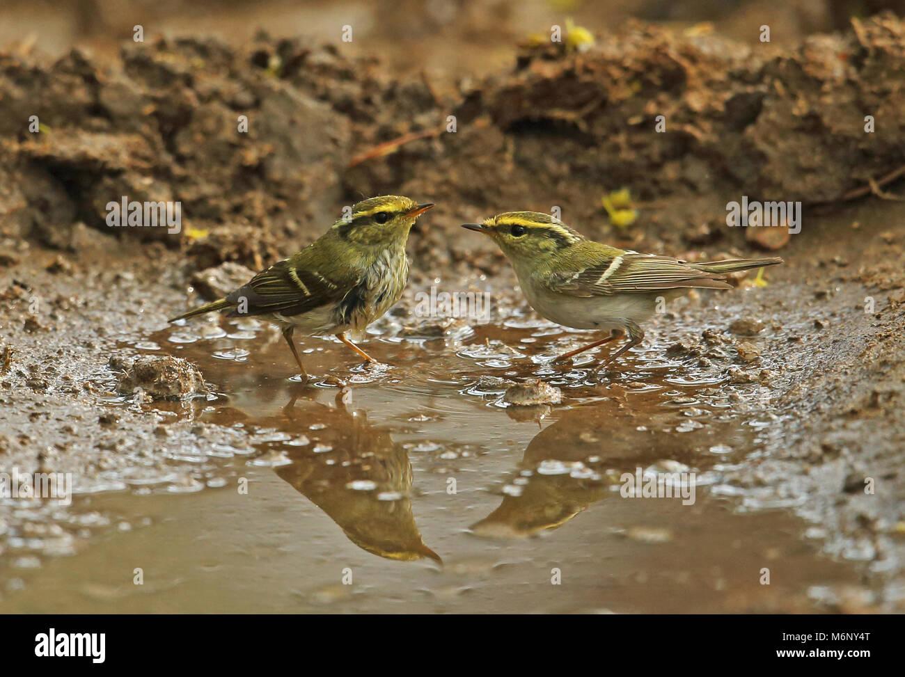 Pallas's Warbler (Phylloscopus proregulus) two adults bathing  Beidaihe, Hebei, China       May Stock Photo