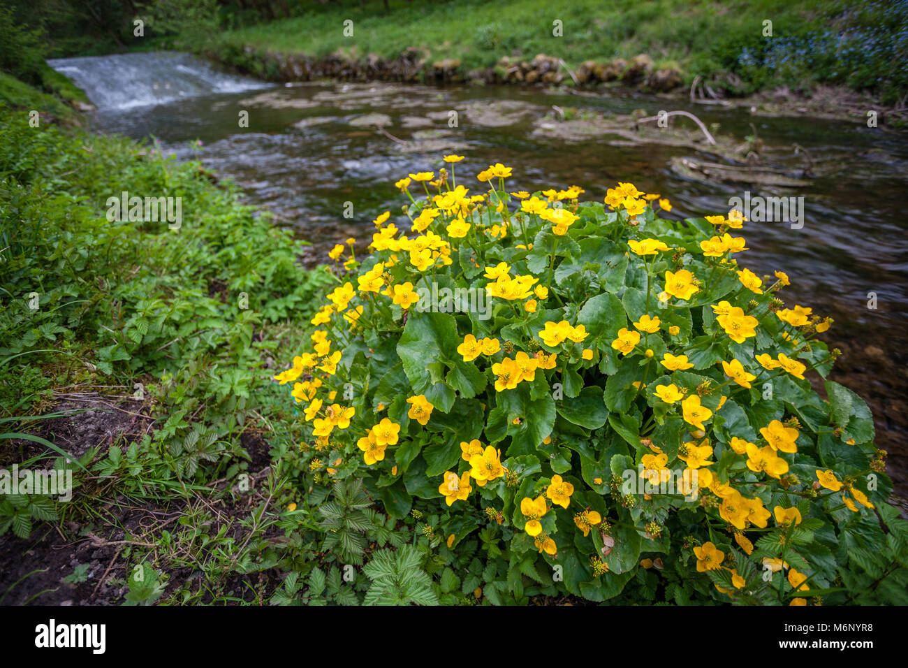 Marsh marigold or mollyblobs Caltha palustris growing beside the river in Bradford Dale near Youlgreave in the Derbyshire - Stock Image