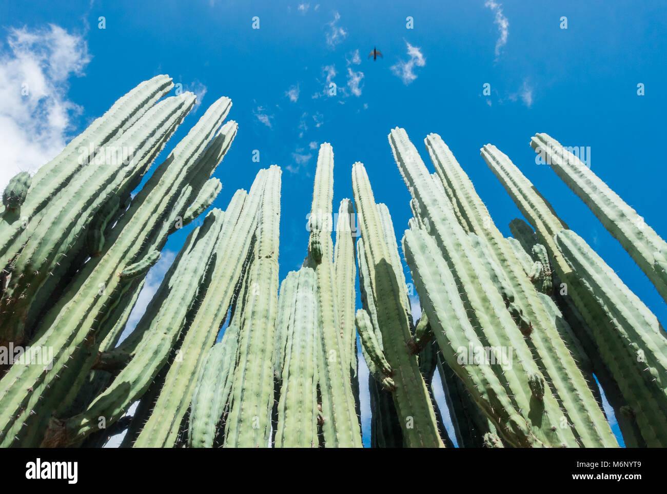 Pachycereus marginatus cactus in Jardin Canario on Gran Canaria, Canary Islands, Spain - Stock Image
