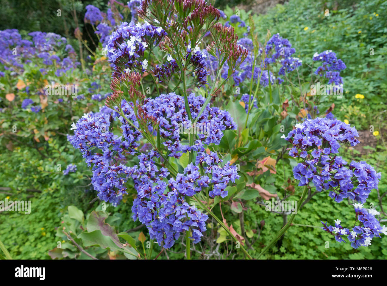 Limonium Sventenii is a critically endangered plant only found on Gran Canaria in the Canary Islands. Spain - Stock Image