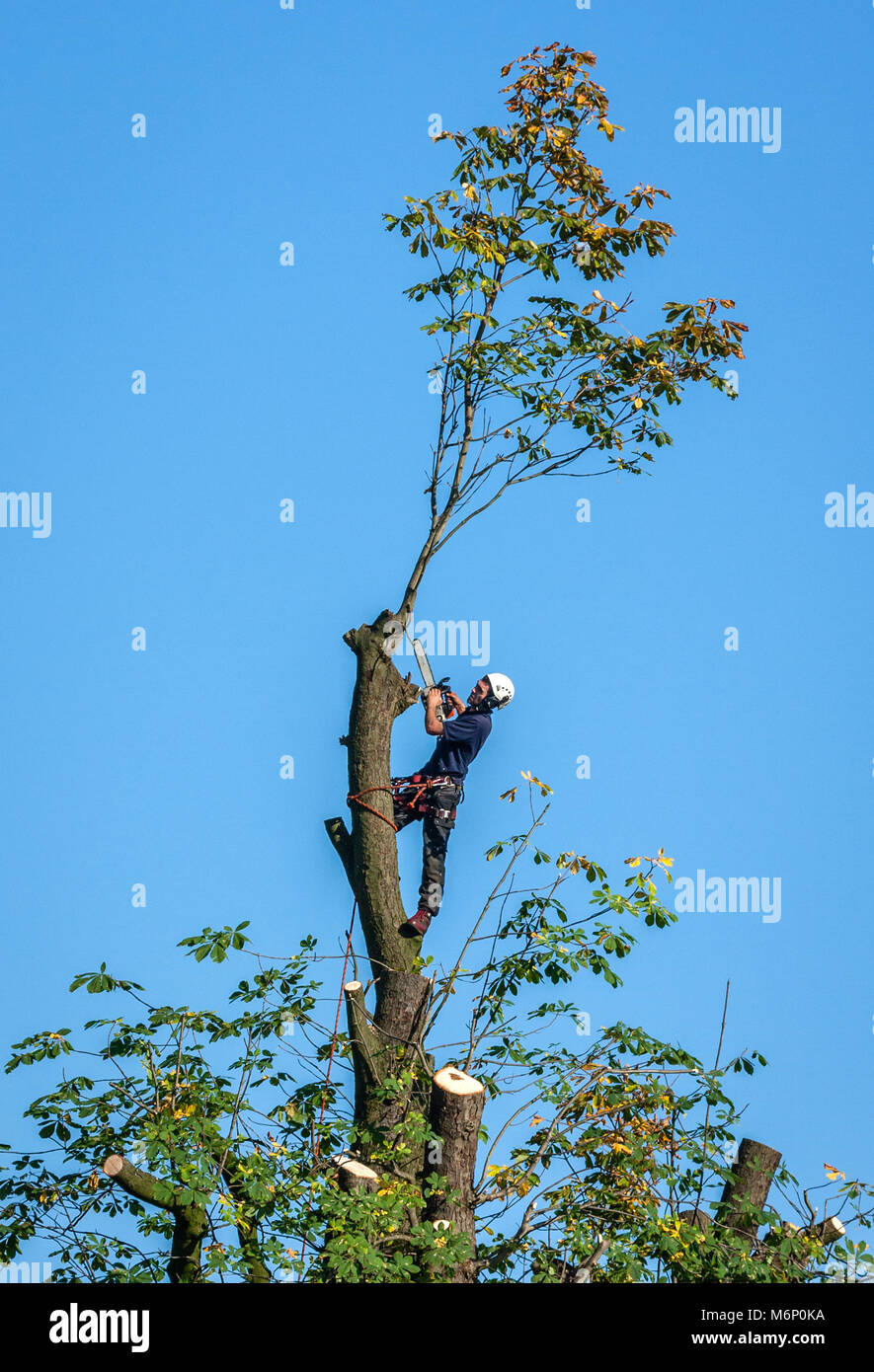 Tree surgeon lopping branches off an ancient horse chestnut tree with a chain saw in Clifton Bristol UK Stock Photo
