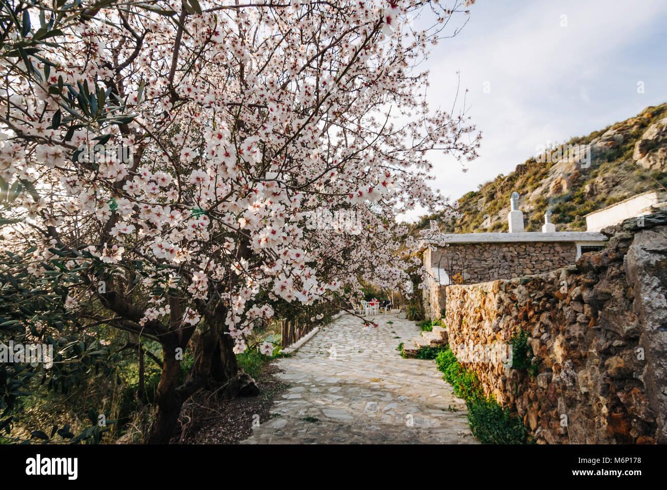 Las Alpujarras, Granada province, Andalusia, Spain : Blossoming Almond tree and cortijo Andalusian farmhouse in - Stock Image