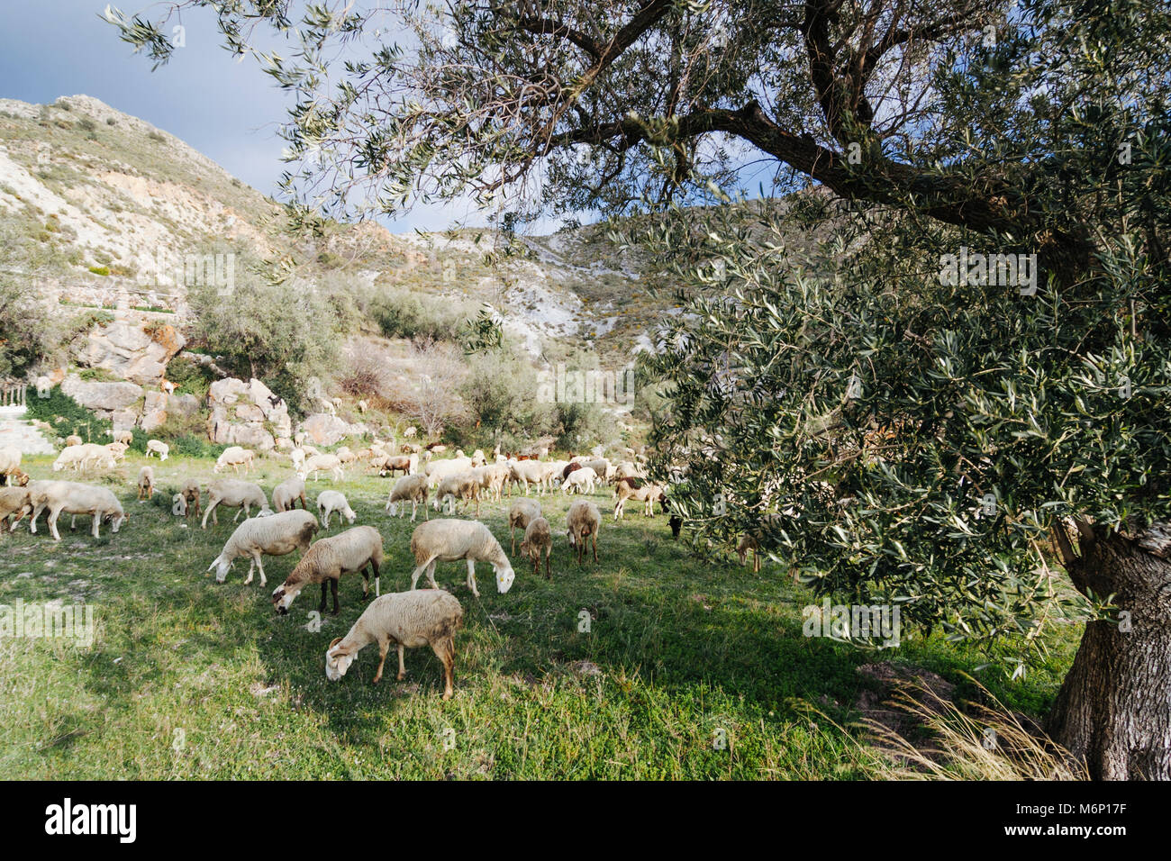 Las Alpujarras, Granada province, Andalusia, Spain :  Goats and sheeps grazing on a meadow in the Sierra Nevada - Stock Image