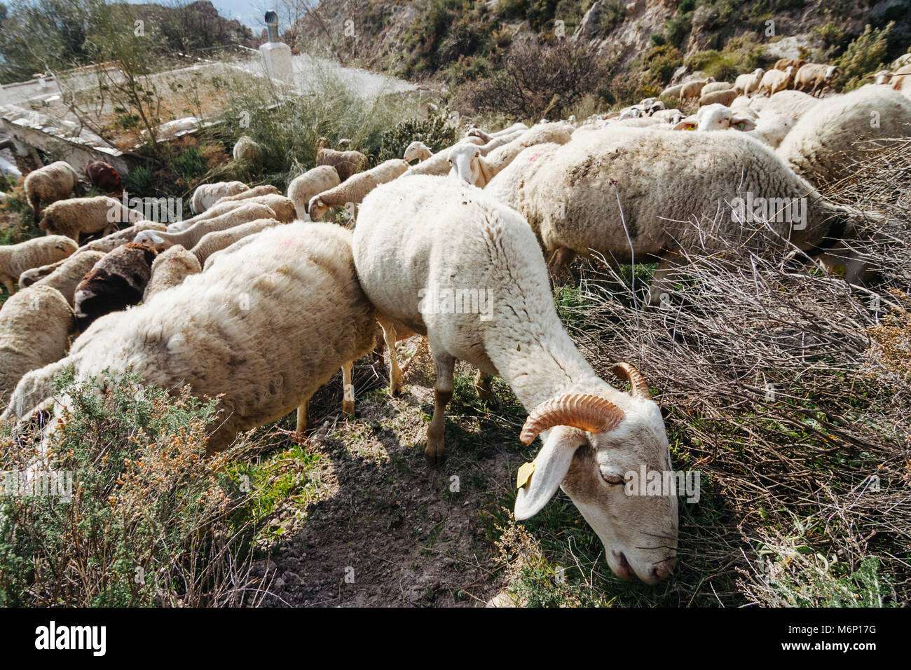Goats and sheeps grazing by a cortijo Andalusian rural house in the Sierra Nevada mountains. Las Alpujarras, Granada - Stock Image