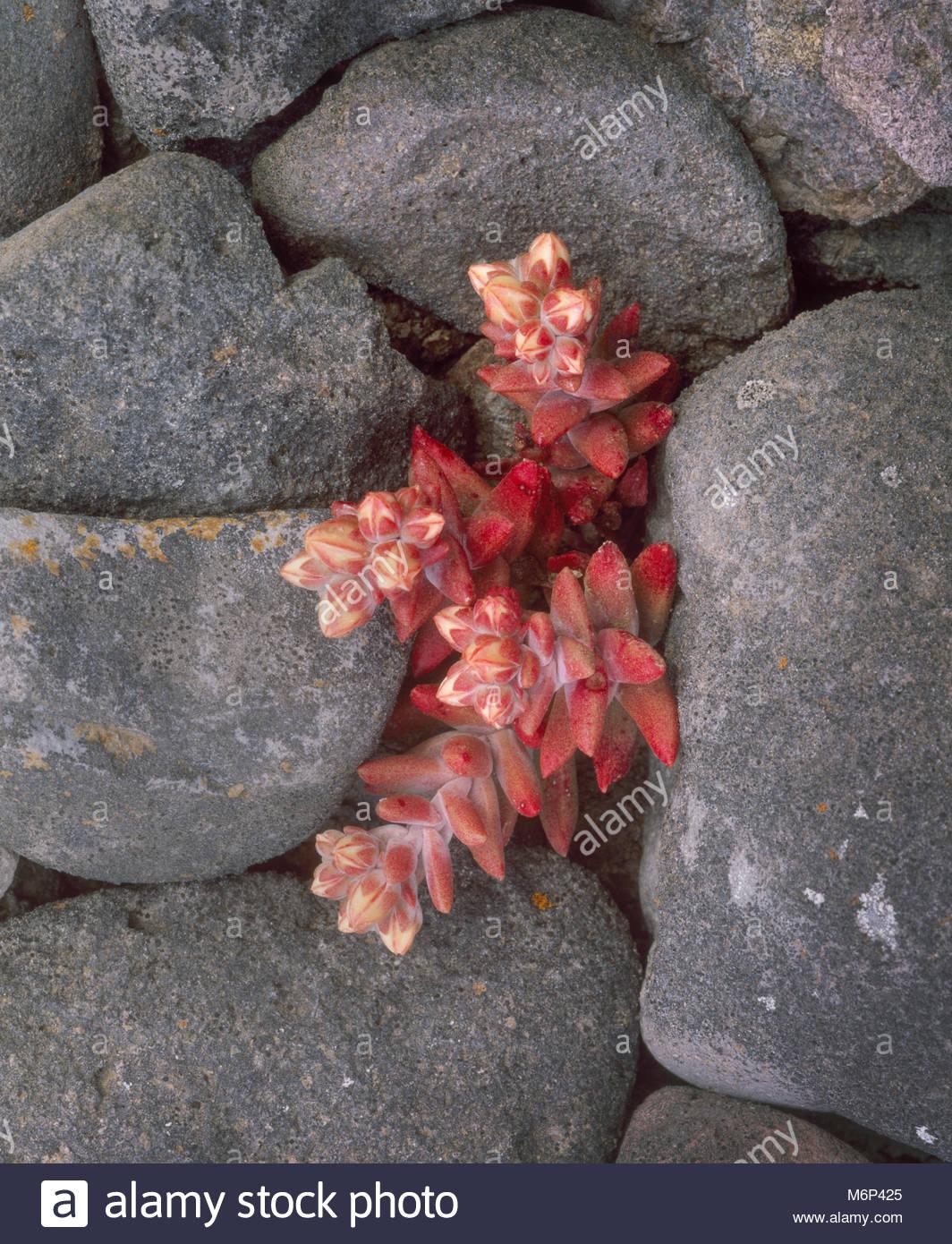 0603-4019  Copyright: George H.H. Huey  Santa Cruz Island live-forever [Dudleya nesiotica].  Endemic to SCI.  Santa - Stock Image