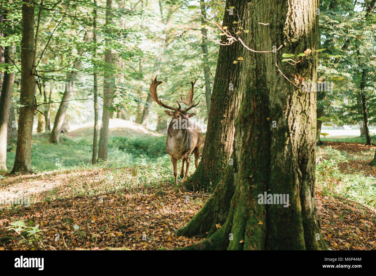 Deer with branched horns stands on a hill in an autumn forest among trees. Stock Photo