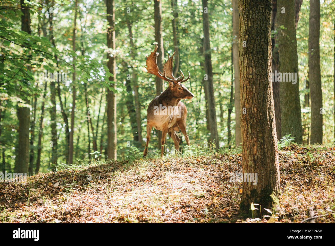 Beautiful deer with branched horns - Stock Image