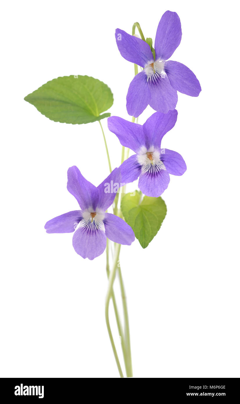 sweet violet, viola  isolated on white background - Stock Image