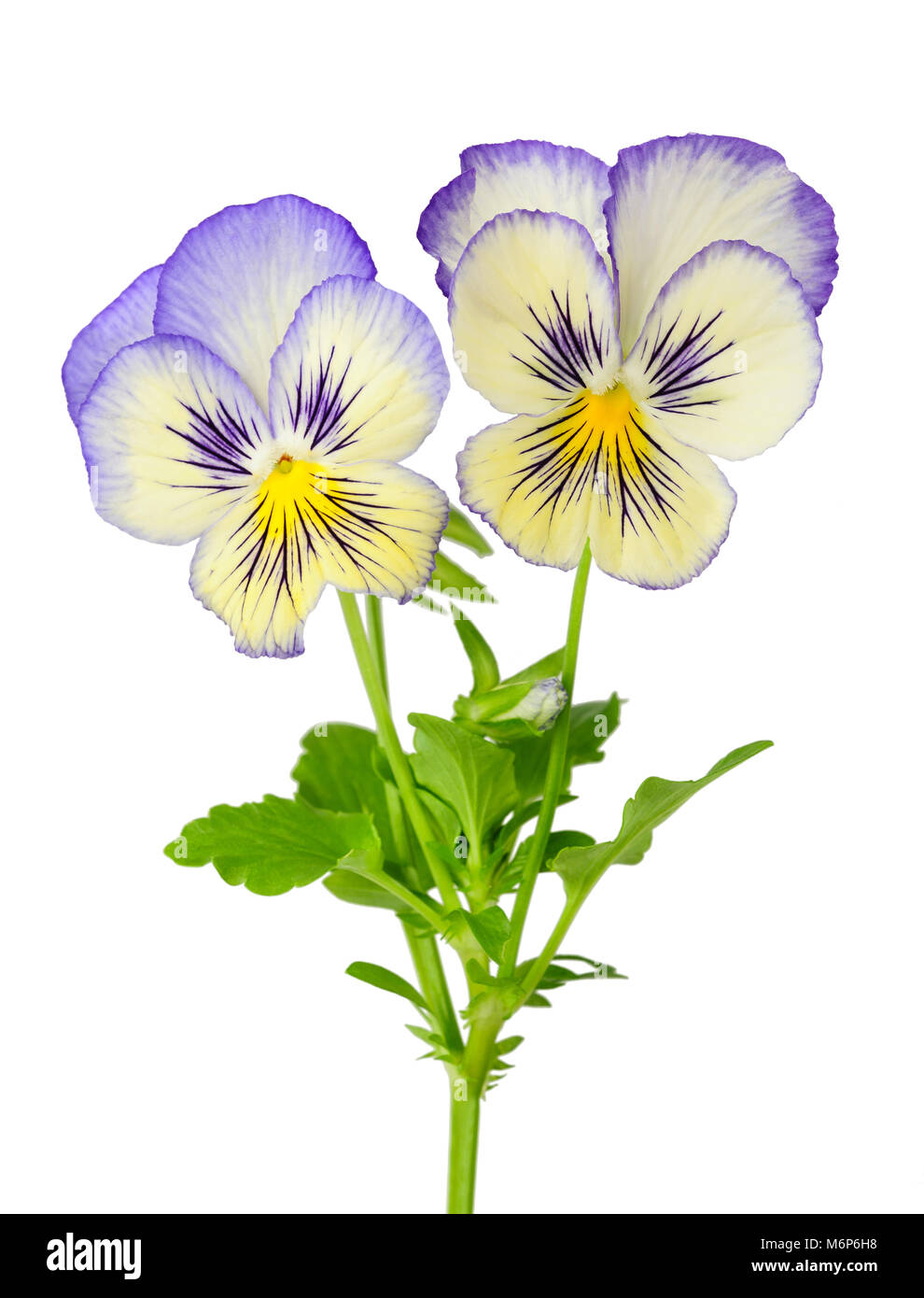 Pansies isolated on white background - Stock Image