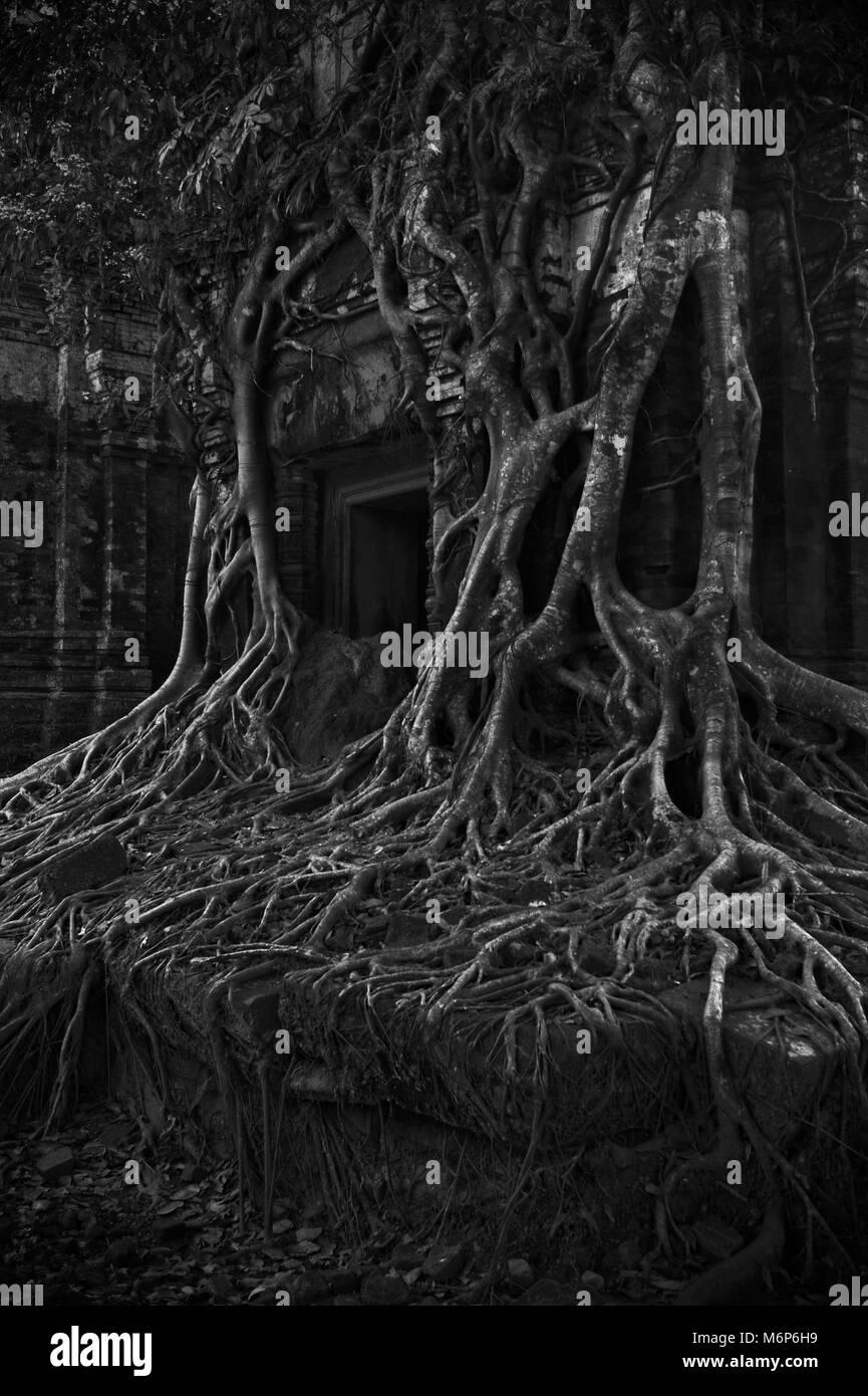Strangler tree in black and white, in Prasat Pram, Koh Ker temple complex, Preah Vihear province, Cambodia Stock Photo
