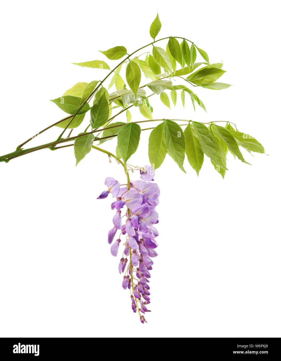 wisteria branch with flowers isolated on white - Stock Image