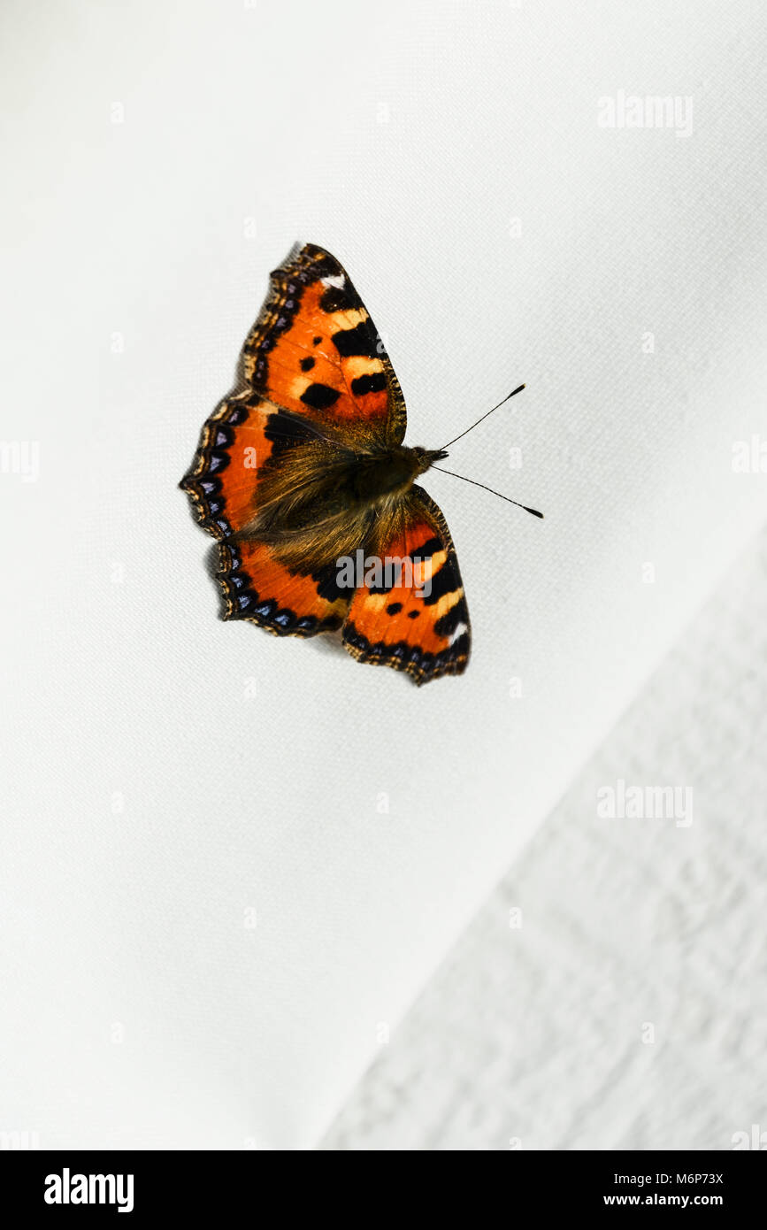 A tortoiseshell butterfly (Aglais urticae) on an inside wall of a house - Stock Image
