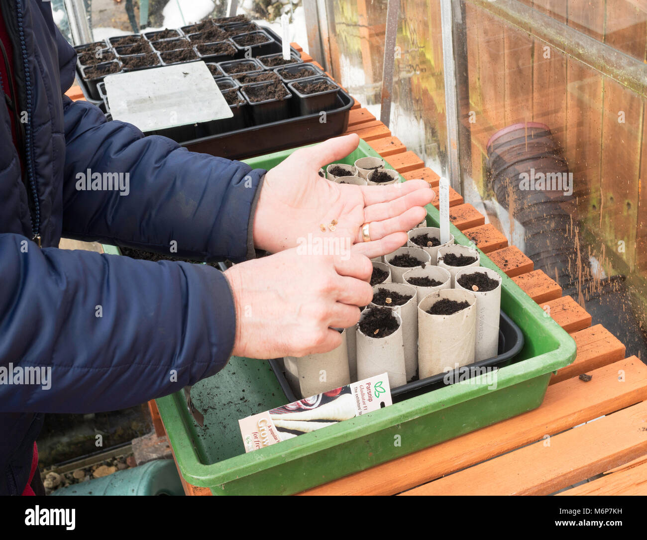 Man sowing parsnip seeds into toilet roll tubes within greenhouse, England, UK. - Stock Image