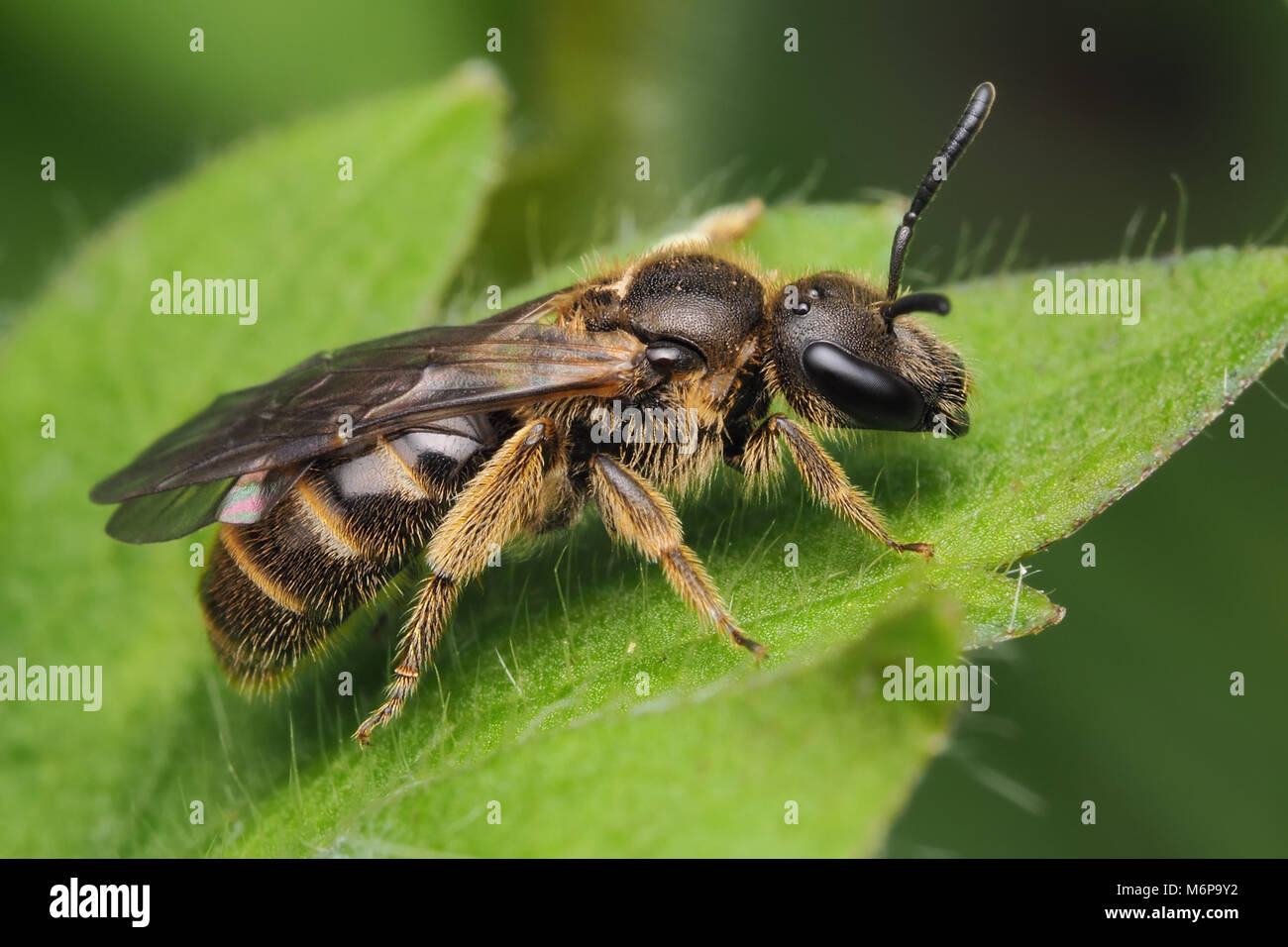 Sweat Bee or Furrow Bee (Halictus rubicundus) at rest on leaf. Tipperary, Ireland - Stock Image