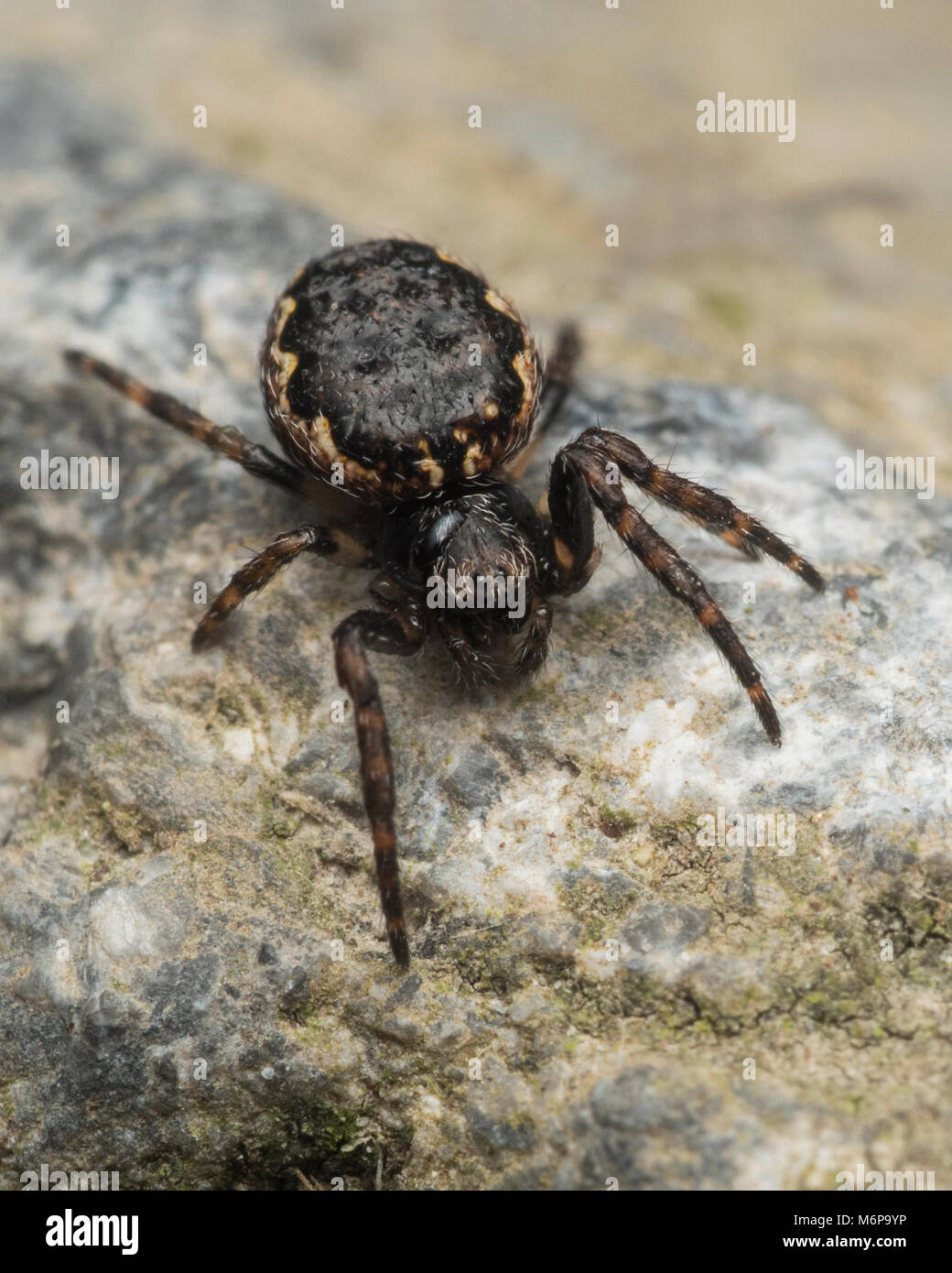 Walnut Orb Weaver spider (Nuctenea umbratica) resting on a stone. Tipperary, Ireland - Stock Image