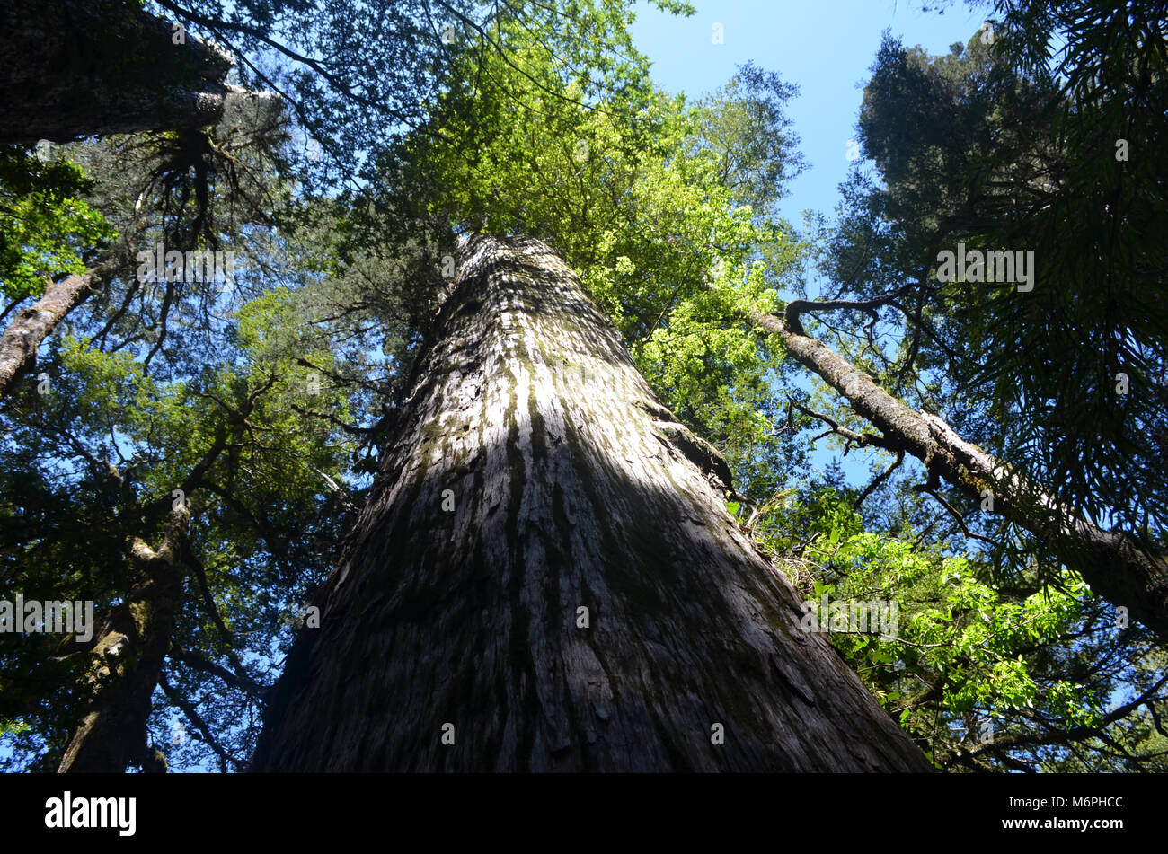 Valdivian temperate rainforests in southern Chile (Chilean Patagonia) - Stock Image