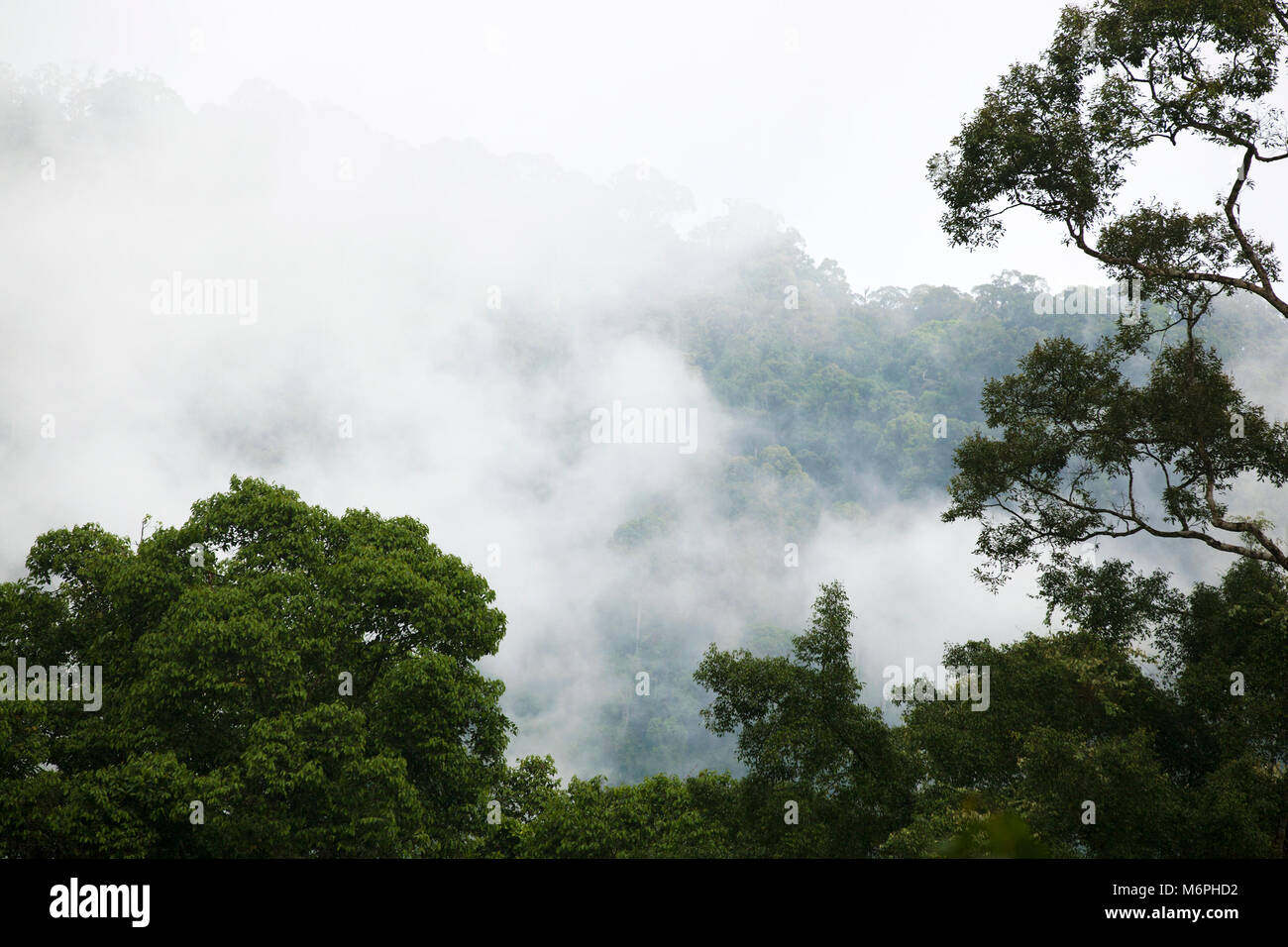 Tropical lowland dipterocarp rainforest canopy in the mist, Danum Valley Conservation Area - Stock Image