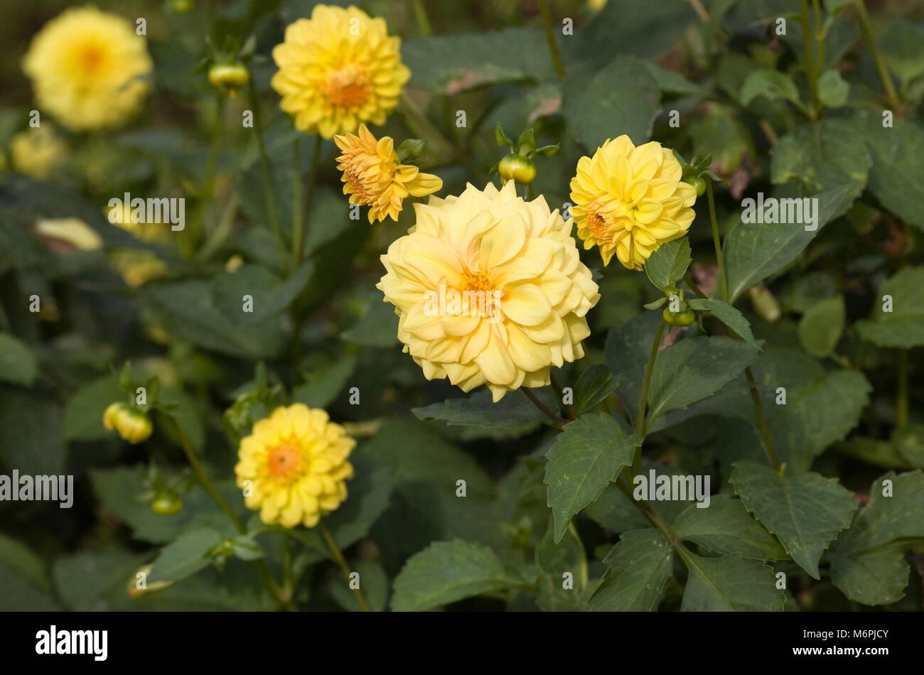 Yellow Dahlias in the garden. - Stock Image