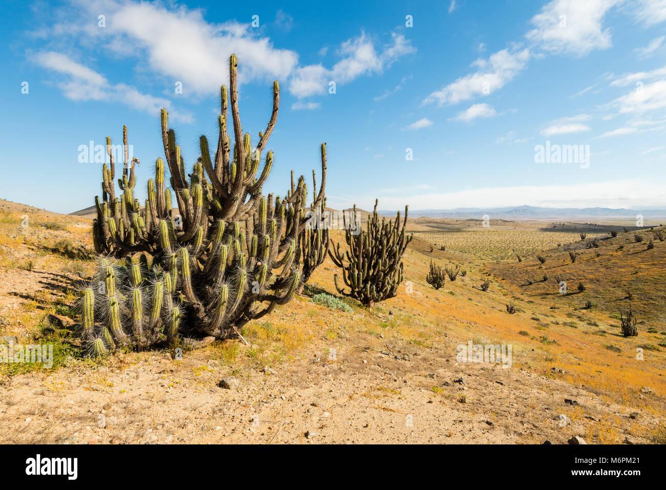 Blooming Desert Chile 2017 - Stock Image