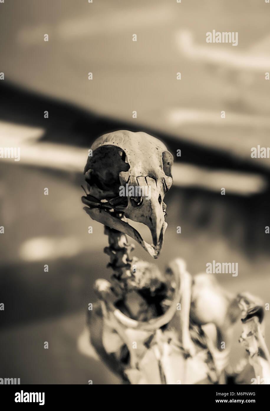 bird skeleton sepia tones - Stock Image