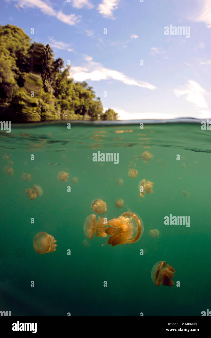 Jellyfish lake. Picture was taken in the Celebes sea, Indonesia Stock Photo