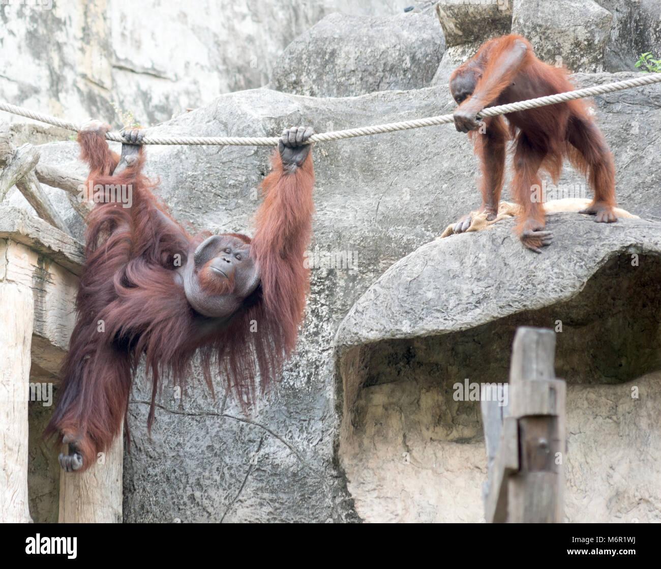 Pair of orangutangs in the Zoo Stock Photo