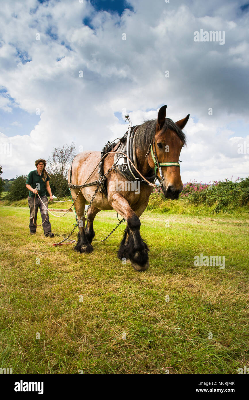 A horse with harness for dragging logs. - Stock Image