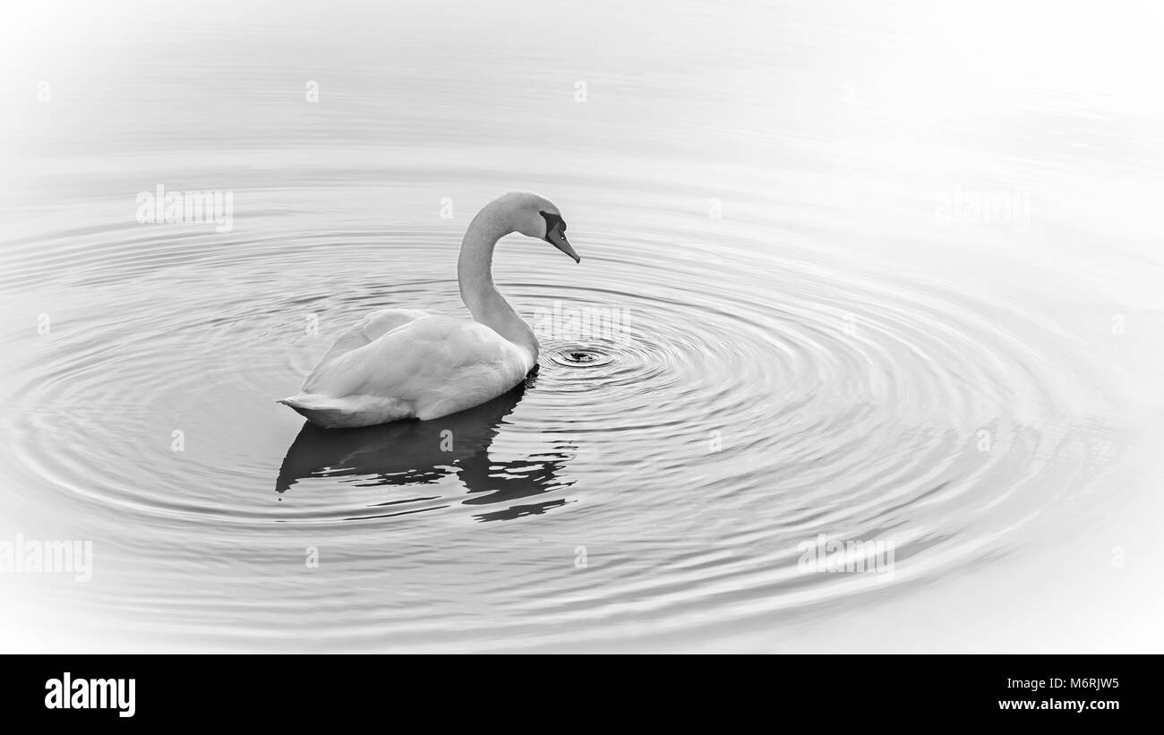 Ripples encircle a swan on calm water. - Stock Image