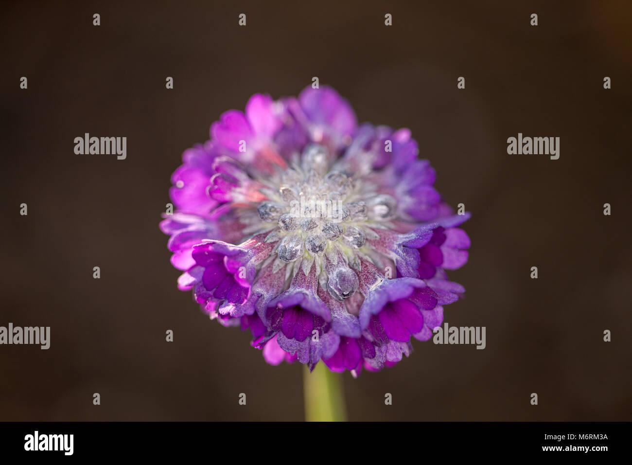 Round-headed Himalayan primrose, Tofsviva (Primula capitata) - Stock Image